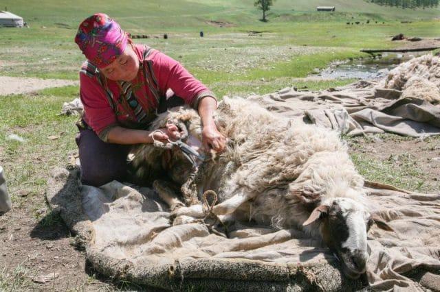 nomad sheerming sheep